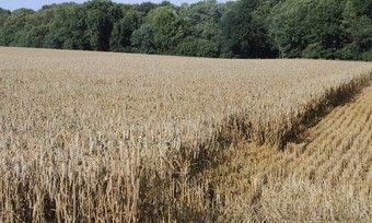 Ein feuchtes Frühjahr hat beim Getreide in Süddeutschland niedrige Fallzahlen zur Folge.