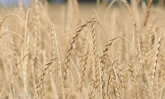 Für Dinkel gibt es keine dem Weizen vergleichbare Qualitätsbeschreibung.