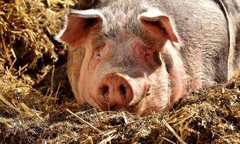 In Brot und Backwaren könnten Bestandteile aus Schweineborsten verarbeitet sein, behauptet die Berliner Morgenpost in einem aktuellen Beitrag.