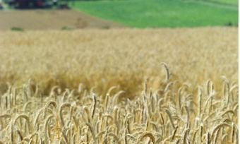 Der Ernteertrag von Roggen liegt in der EU 14 Prozent unter dem mehrjährigen Mittelwert.