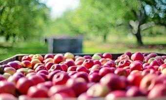 Die Apfelernte fällt 2018 gut aus.