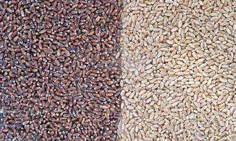 Die Uni Hohenheim empfiehlt, Bäcker sollten Weizensorten gezielt für ihre Produkte auswählen.