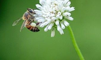 Als Einzelstück beliebt: Biene beim Nektar saugen und Bestäuben.