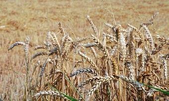 Winterweizen hat regional stark unter den Hitzewellen gelitten.