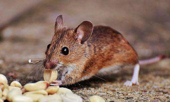 Eine Bäckerei in Heimerzheim musste ihre Produktion wegen Mäusebefalls kurzzeitig stilllegen.