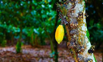 In Westafrika stehen mehr als drei Viertel der Kakaobäume weltweit.