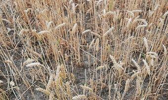 Lange Perioden ohne Regen wie in den Jahren 2018 und 2019 machen Weizenpflanzen zu schaffen.