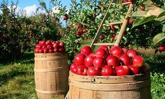 Geringere Ernteeinträge von Apfelbauern erhöhen den Einkaufspreis.
