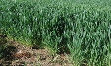 Noch sieht es so aus, als könne die diesjährige Weizenernte die Höhe des Fünf-Jahresdurchschnitts erreichen.